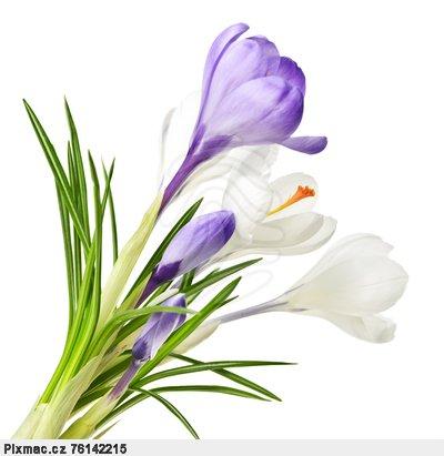 jarni-krokus-kvetiny-april-pixmac-obrazek-76142215
